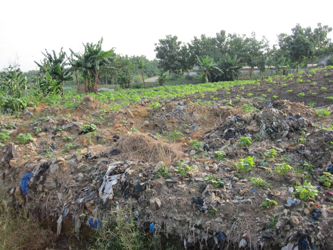 Cassava growing at the Akouedo dumpsite (July 2016)