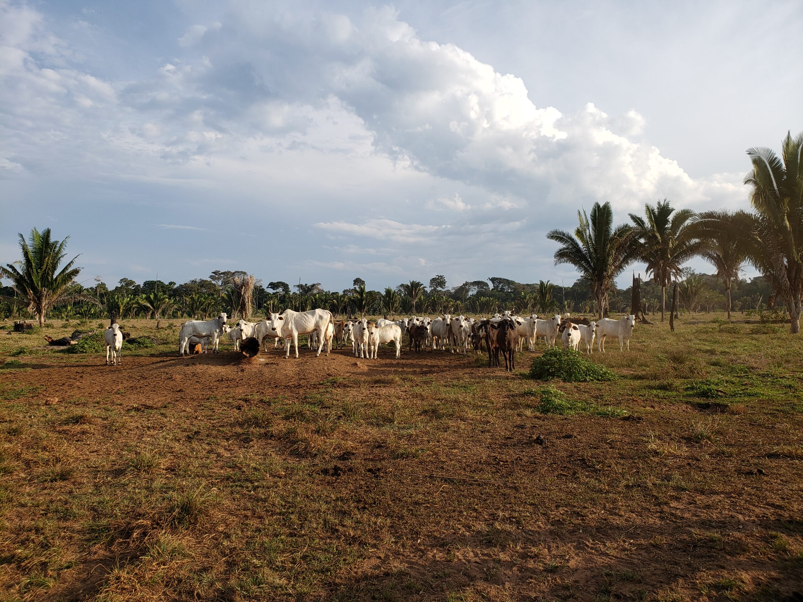 Brazil: Cattle illegally grazed in the Amazon found in supply chain of leading meat-packer JBS